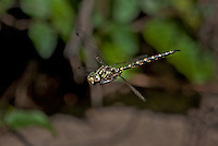 339510003 a wild male harlequin darner dragonfly gompheaschna furcillata hovers in flight above indian creek jasper county texas united states