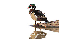 00715-09410 Wood Duck (Aix sponsa) male in wetland Marion Co. IL (high key white background)