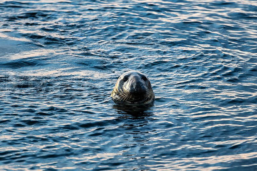 Harbor seal, Chatham, Cape Cod, Massachusetts, USA.