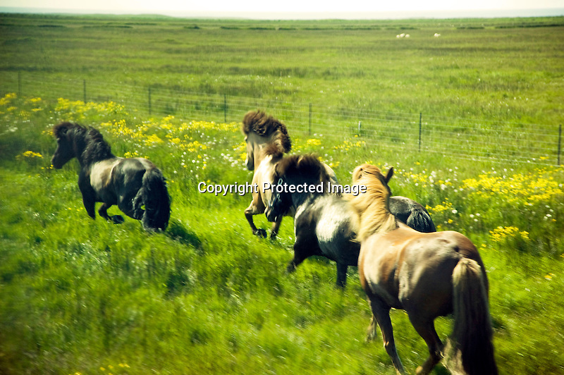 Icelandic Horse Running in Field in South Iceland