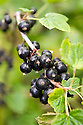 Blackcurrant 'Ebony', early July.