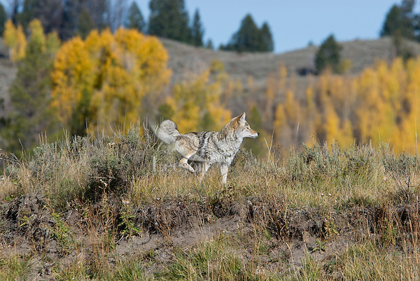 Coyote marking territory (urinating on sagebush).  Western U.S., fall.