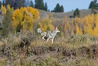Coyote marking territory (urinating on sagebush).  Western U.S., fall.