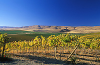 Winegrape Vineyard. Columbia Basin. WA