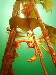 Probably Northern Kelp crab (pugettia producta)
