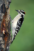 Downy Woodpecker - Picoides pubescens - Adult male