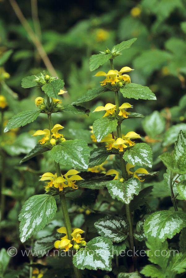 Silber-Goldnessel, Silberblättrige Taubnessel, Silber-Taubnessel, Lamium argentatum, Galeobdolon argentatum, Lamium galeobdolon subsp. argentatum