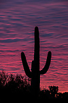 Pink and purple sunset with Saguaro in silhouette