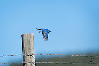 Mountain Bluebird (Sialia currocoides) takes flight off a fencepost, The Black Hills, South Dakota.  These birds abound in The Black Hills.  Apparently they feast on horse flies that cause huge problems for horses and livestock in the area.  As a result, ranchers have erected hundreds of bird houses along just about every fence we encountered in the area.