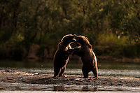GRIZZLY BEAR..Ursus arctos.Young cubs play fighting.Photographed in the wild in Alaska