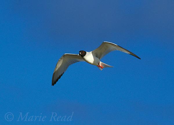 Swallow-tailed Gull (Creagrus furcatus) in flight, Genovesa (Tower) Island, Galapagos Islands, Ecuador<br /> Slide # B59-1041