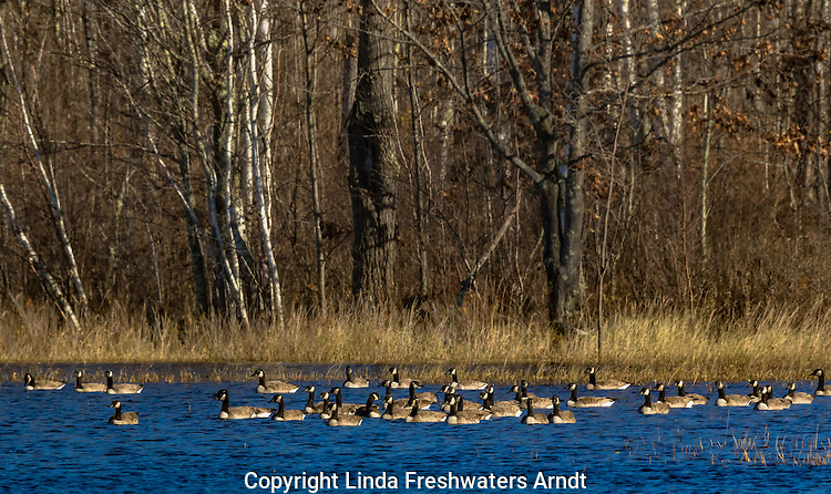 Canada geese resting in a northern Wisconsin wilderness lake