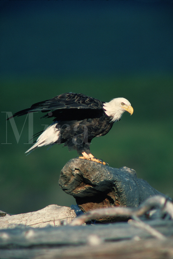 A Bald eagle (Haliaeetus leucocephalus) streches its wings in preparation for flight. Alaska.