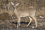 White-tailed doe in spring