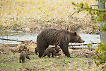 Two grizzly bear cubs follow their mother through the spring landscape in Yellowstone National Park, Wyoming.