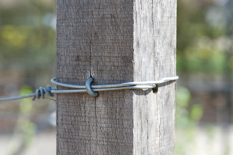 A horizontal wire anchored to a wooden post, for supporting fruit.