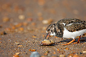 Ruddy Turnstone (Arenaria interpres) cleaning out a crab shell, Rye, East Sussex, UK. The Turnstone aptly named, it will flip stones of almost its own body weight has been recorded feeding on a very wide range of prey, including bird's eggs, chips and even corpses, in this case a crab shell.