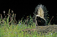 Striped Skunk, Mephitis mephitis, adult looking for food, Welder Wildlife Refuge, Sinton, Texas, USA