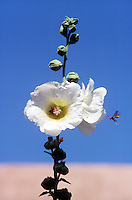 FLOWERING TREES AND SHRUBS<br /> Pollination Of A Hibiscus Flower<br /> A honeybee inside and a wasp approaching the flower