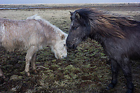 Iceland - Two Icelandic ponies are seen in Iceland, March 2016. The Icelandic horse is a breed of horse developed in Iceland. Although the horses are small, at times pony-sized, most registries for the Icelandic refer to it as a horse. Icelandic horses are long-lived and hardy. In their native country they have few diseases; Icelandic law prevents horses from being imported into the country and exported animals are not allowed to return. The Icelandic displays two gaits in addition to the typical walk, trot, and canter/gallop commonly displayed by other breeds. The only breed of horse in Iceland, they are also popular internationally, and sizable populations exist in Europe and North America. The breed is still used for traditional sheepherding work in its native country, as well as for leisure, showing, and racing.