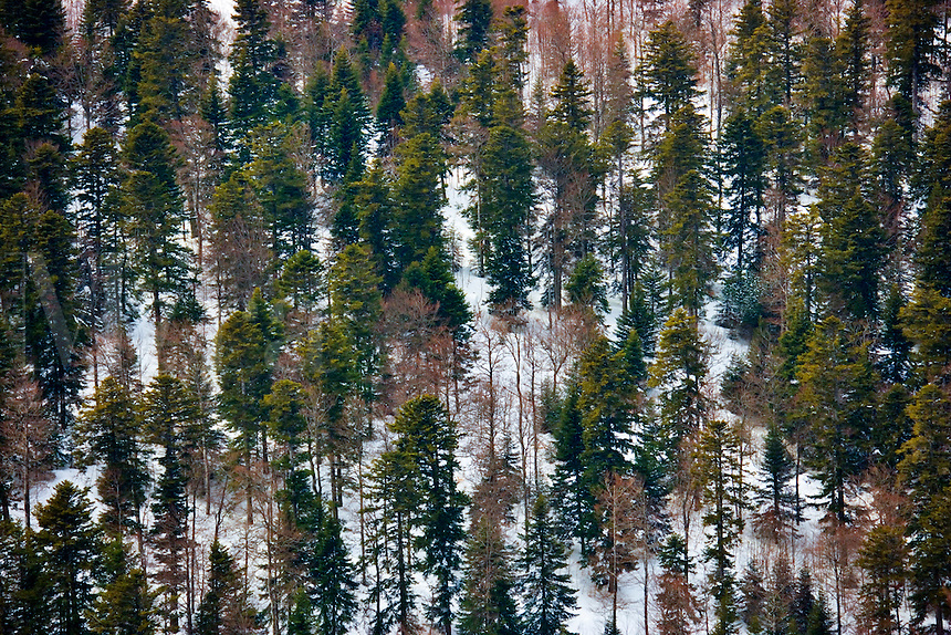 Mixed forest on the south facing escarpment of the Vercors Plateau between the Col de Rousset and the But St. Genix. Winter. Diois, Drome, Rhone-Alpes, France.