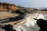 Blue whale carcass at Bean Hollow State Beach