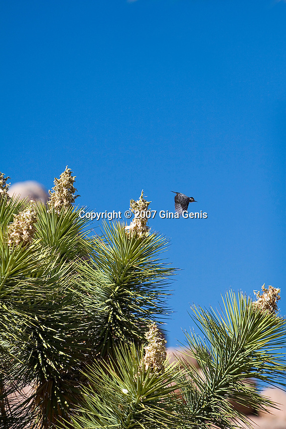 Bird in flight in Joshua Tree National Park