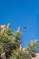 Bird in flight in Joshua Tree National Park