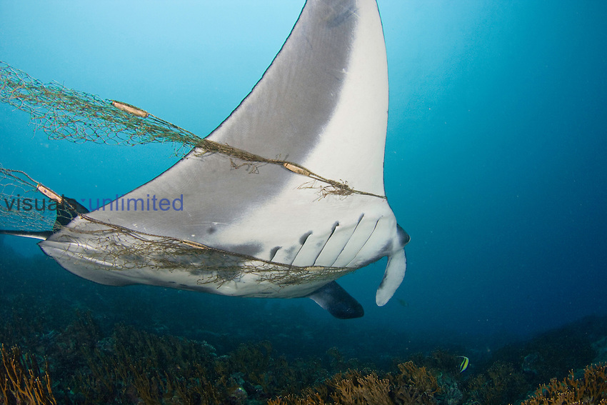 This Manta Ray (Manta birostris) is entangled in and towing a fisherman's net, Yap, Micronesia.