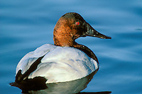 Canvasback (Aythya valisineria) drake on pond.  Pacific Northwest.  Winter.