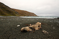 Southern Elephant Seal Carcass on Hasselborough Bay, Macquarie Island, Antarctica