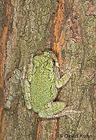 "0916-07xx  Gray Tree Frog - Hyla versicolor ""Virginia"" © David Kuhn/Dwight Kuhn Photography"