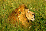 Lion in the grass of the plains in Maasai Mara.