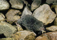 MU40-162z  Water Shrew - along stream - Sorex palustris