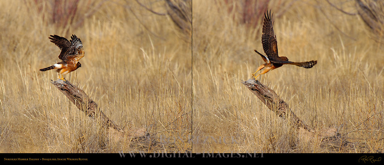 Juvenile Northern Harrier Takeoff, Bosque del Apache Wildlife Refuge, New Mexico