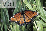 Viceroy Butterfly (Limenitis archippus obsoleta), Limenitidinae, Arizona.