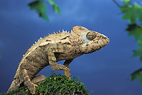 GIANT SPINY CHAMELEON..Native to Madagascar. Captive..(Chamaeleo verrucosus)..