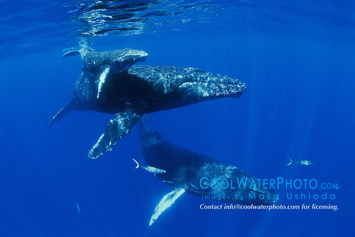 humpback whales, Megaptera novaeangliae, mother, calf and male escort, accompanied by rainbow runners, Elagatis bipinnulatus, Hawaii, USA, Pacific Ocean
