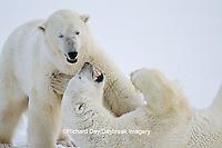 01874-13113 Polar Bears (Ursus maritimus) sparring during snowstorm Churchill Wildlife Management Area, Churchill, MB