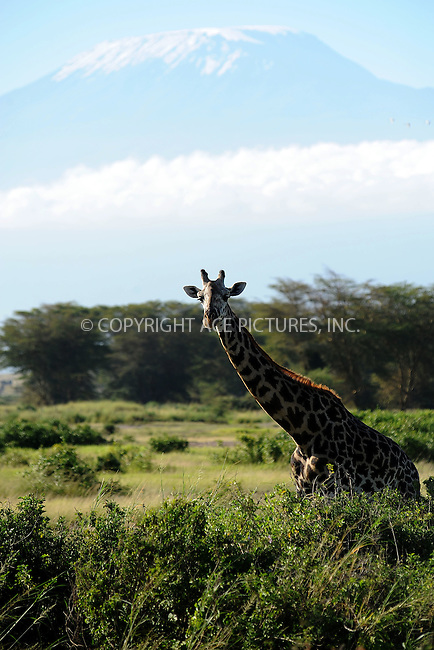 WWW.ACEPIXS.COM<br /> February 28, 2016 New York City<br /> <br /> Mount Kilimanjaro and a Masai giraffe seen in Amboseli National Park on February 28, 2016 in Kenya.<br /> <br /> Credit: Kristin Callahan<br /> web: http://www.acepixs.com