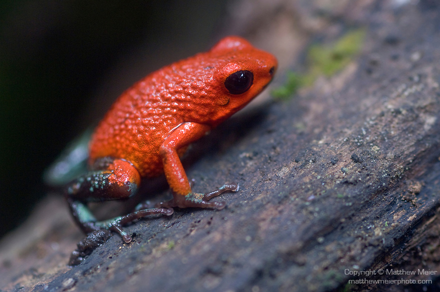 Monteverde, Costa Rica; a Red and green dart frog (Dendrobates granuliferus) , Copyright © Matthew Meier, matthewmeierphoto.com All Rights Reserved