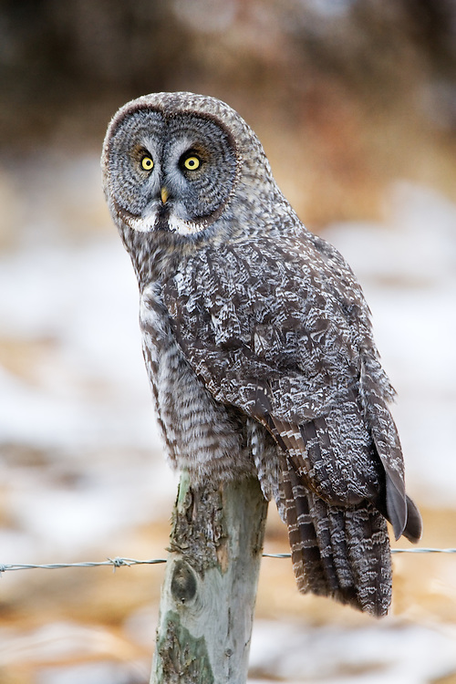 Great Grey Owl looking sideways from on top of a fence post.. 3328x4992