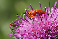 The Chrysomelidae (leaf beetles) is one of the largest families of beetles and includes the Colorado Potato beetle. Thistle flower in May.