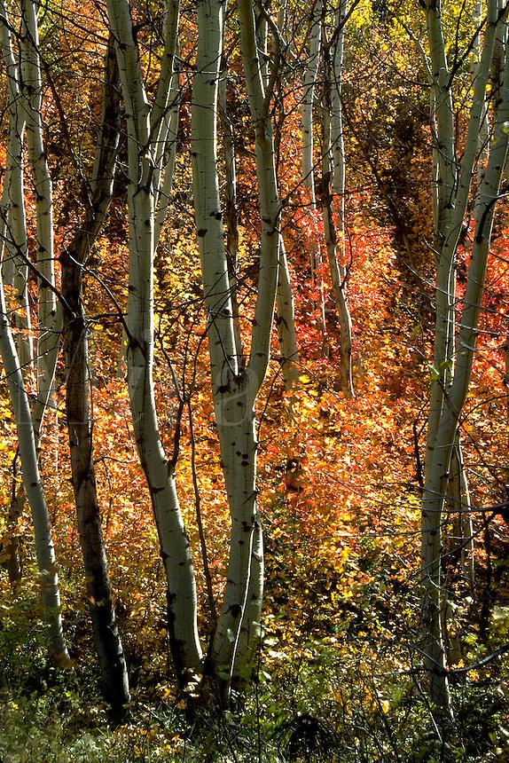Trees in their fall splendor in the Uintah National Forest, Utah. Utah Uintah National Forest.