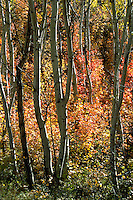 Trees in their fall splendor in the Uintah National Forest, Utah. Utah Uintah National Forest.