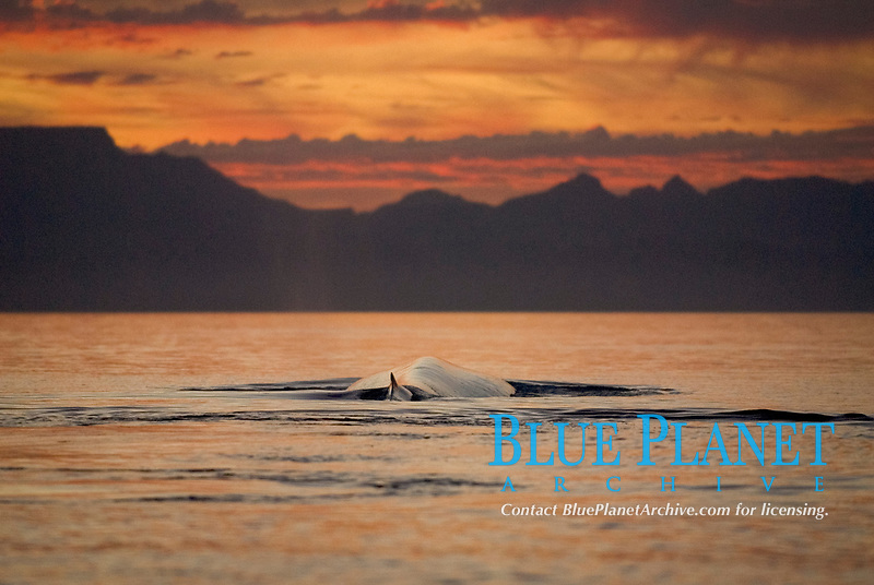 Blue whales (balaenoptera musculus) Gulf of California.In the last light of day a blue whale rests at the surface., Baja California, Mexico, Pacific Ocean