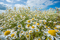 Ox-eye daisies in a field, Cambridgeshire.