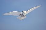 Snowy owl flying, Canada
