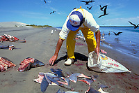 fisherman collects fins from freshly butchered catch of blue sharks, Prionace glauca, and mako sharks, Isurus oxyrinchus, Magdalena Bay, Baja, Mexico, Pacific Ocean