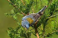 561000019 northern parula setophaga americana - was parula americana wild texas male perched upside down on small branch in a national forest in jasper county texas